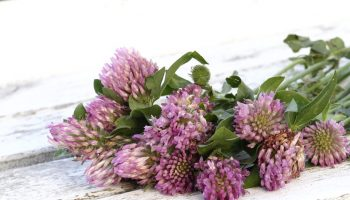 red-clover-1589711_960_720